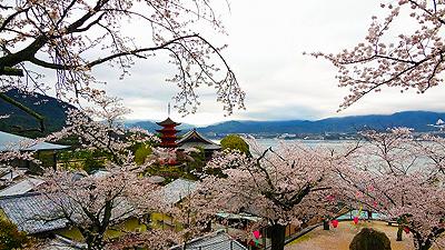 光明院前の桜