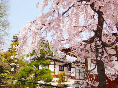 厳島神社前の桜