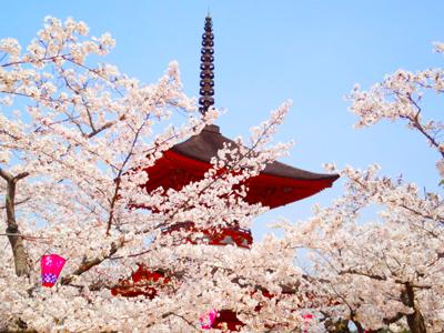多宝塔の桜