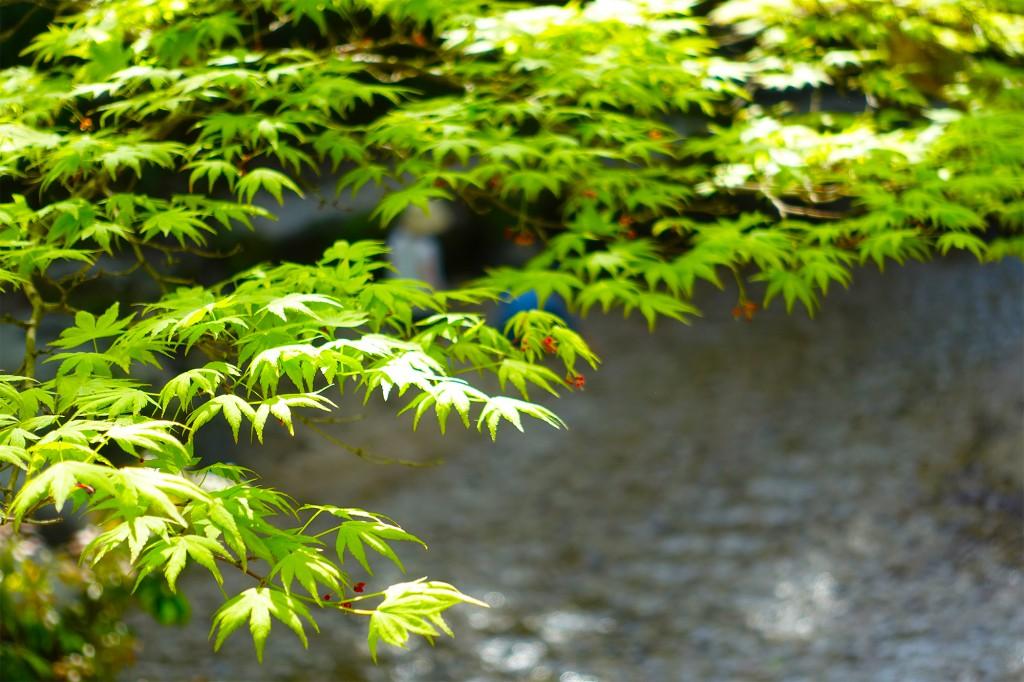 初夏の紅葉谷公園